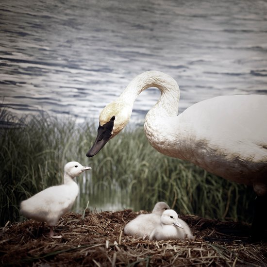 Tom Feiler Swan and her Cygnets Art Print