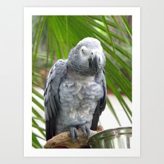 Grey Parrot  Art Print