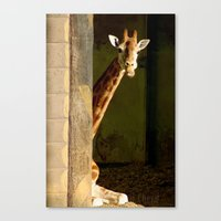 Shy Giraffe Canvas Print