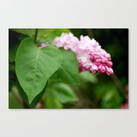 Pink Lilac Canvas Print