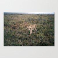 Lone Lion. Canvas Print