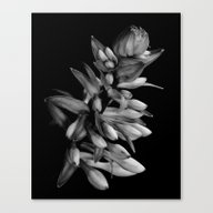 Hosta Buds Canvas Print