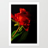 Solitary Rose Art Print