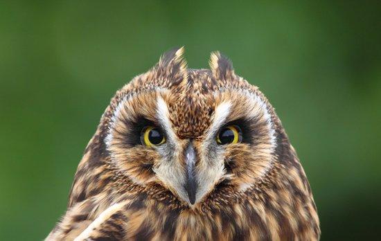 Boreal Owl Art Print