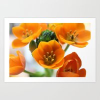 Ornithogalum, the flower of hope Art Print