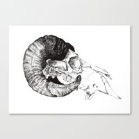 Skull study Canvas Print