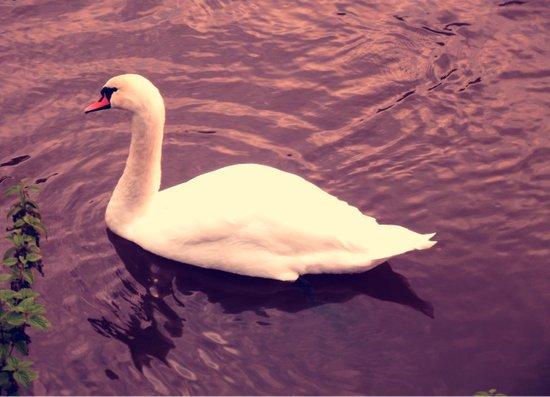 Lonely Swan  Art Print