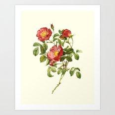 Botanical Print, Gallica Plumera Art Print