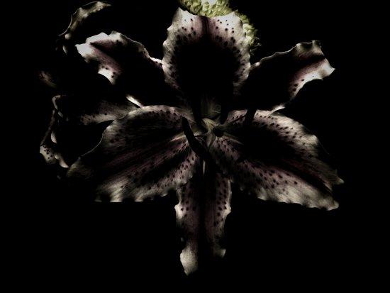 Dark Lily Art Print