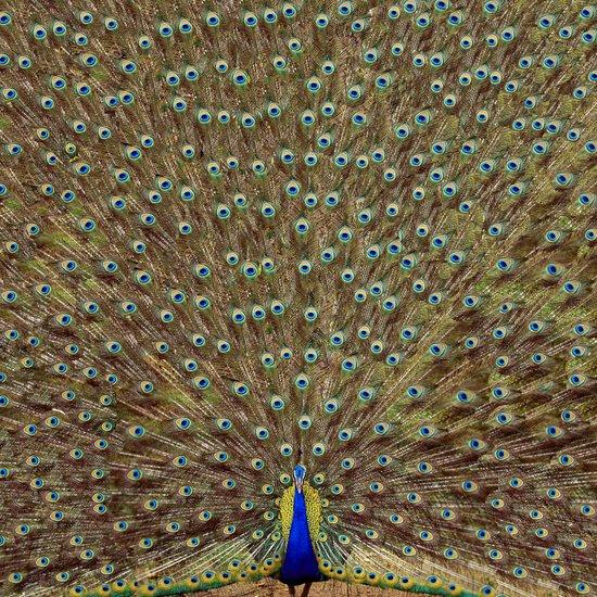 Bird of Paradise Canvas Print