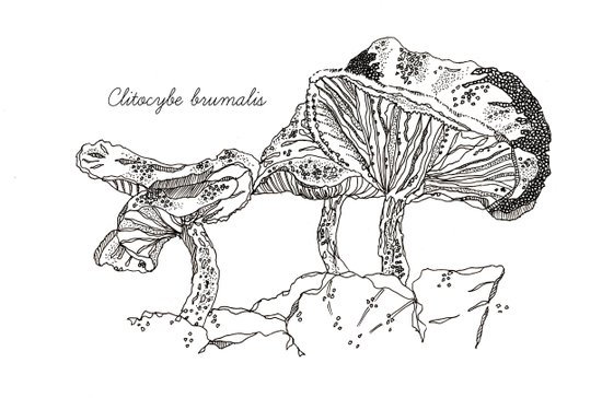 Clitocybe Brumalis // Hand Drawn Fungi Series Art Print