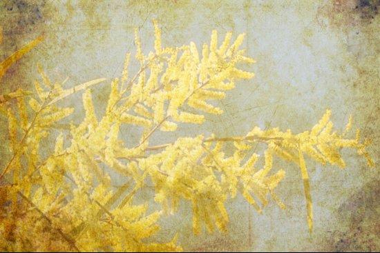 Golden Wattle Canvas Print