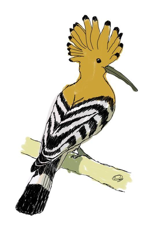 Birds - Hoopoe Art Print