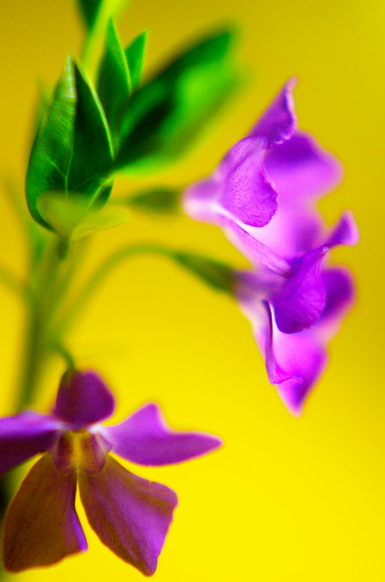 yellow and purple trio Canvas Print