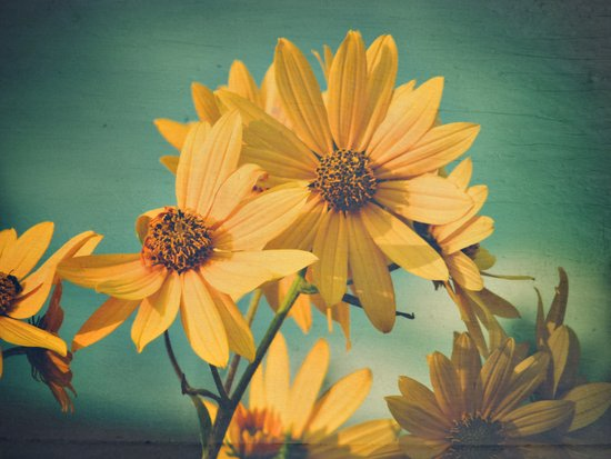 H. maximiliani, Prairie Sunflower Botanical Art Print