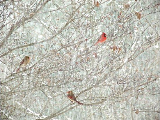 Cardinal Trio in the Snow Art Print