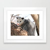North American Opossum I… Framed Art Print