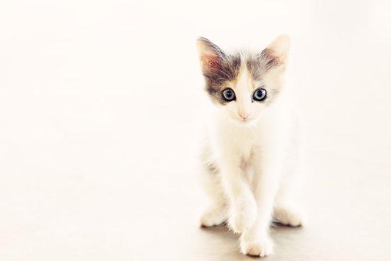 White and Grey Kitten Art Print