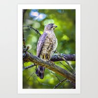 Broad wing Hawk Art Print