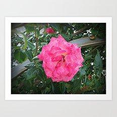 rosa rosa Art Print