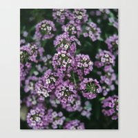 Detail of tiny pink flowers growing in an english garden. UK. (Shot on film). Canvas Print