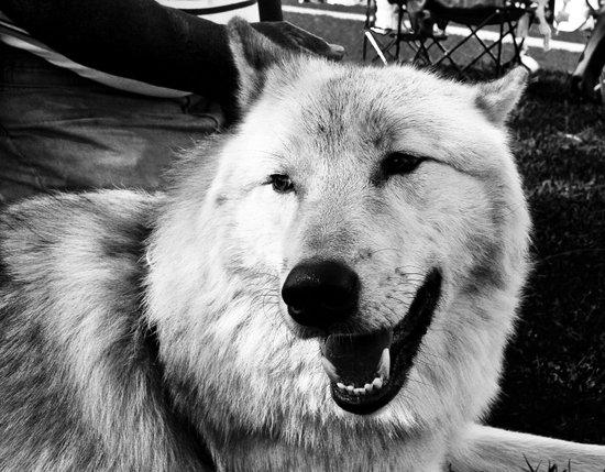 Wolf Dog Canvas Print