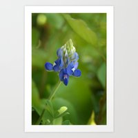 Bluebonnet ~ State Flower of Texas Art Print