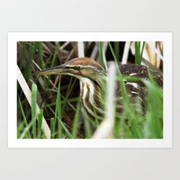 American Bittern - Take One Art Print