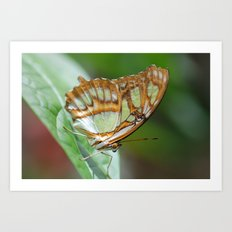 Gorgeous George Butterfly Art Print