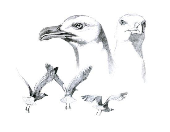 Great Black-backed Gull - Larus marinus   SK043 Canvas Print