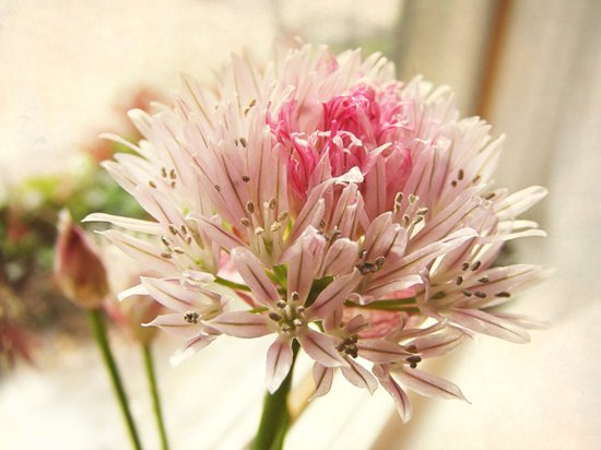 Eau Dat Chive herbal culinary botanical pink flower macro Art Print
