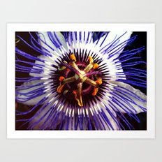 passionflower / Passiflora incarnata  Art Print