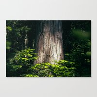 Cedar Canvas Print