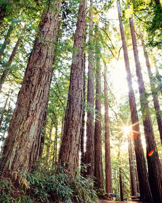 Sunlight Through Redwoods Art Print