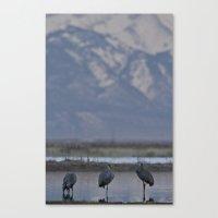 Sandhill Cranes, Grus Ca… Canvas Print