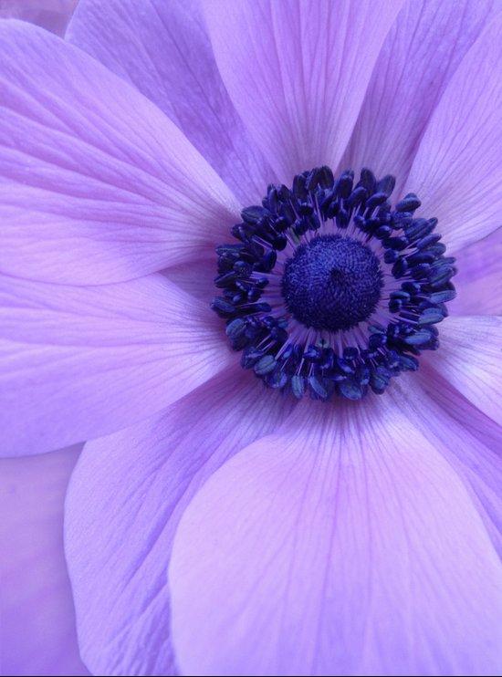 Blue Anemone Art Print