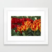 Red yellow Tulips  Framed Art Print