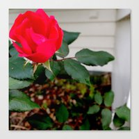 A Rose For Rosemary Canvas Print