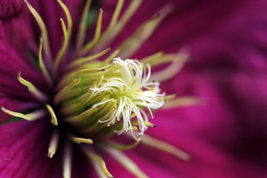 Clematis Again Art Print