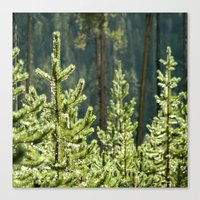 Young Lodgepole Pines Af… Canvas Print