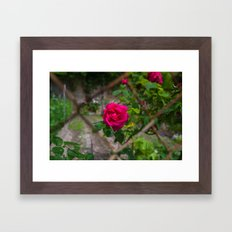 Rose and wire Framed Art Print