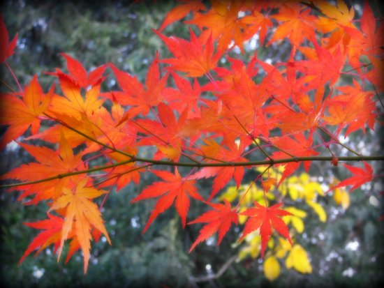 November maple Art Print