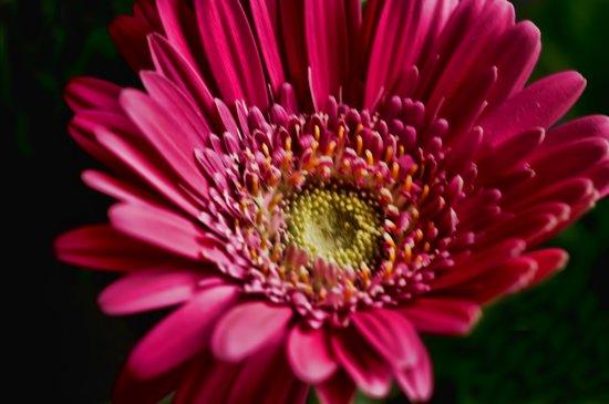 Pink Gerbera 5 Art Print