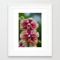 Orchid Phalaenopsis 7989 Framed Art Print