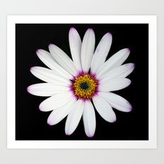 Colour Osteospermum Art Print
