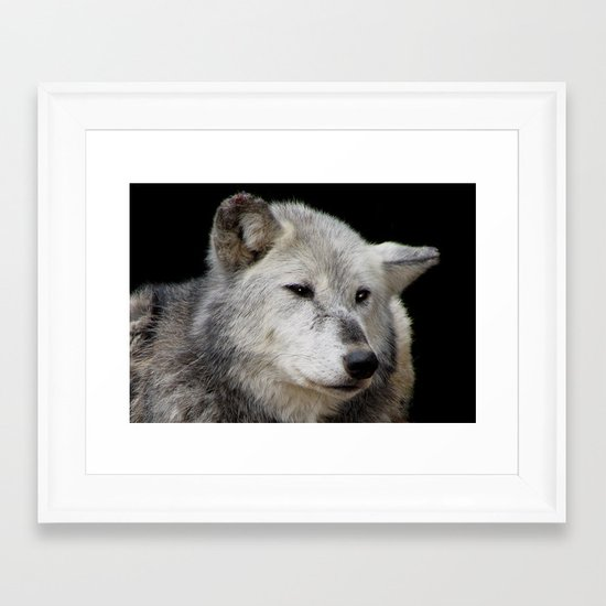 Grey Wolf Close-Up (Canis lupus) Framed Art Print