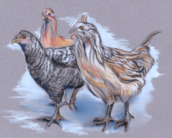 Trio of Young Chickens Art Print