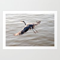 A Great Blue Heron Art Print