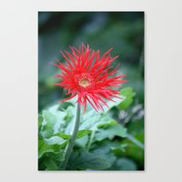 Red Hot Daisy Canvas Print