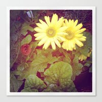 Fading Daisies Canvas Print